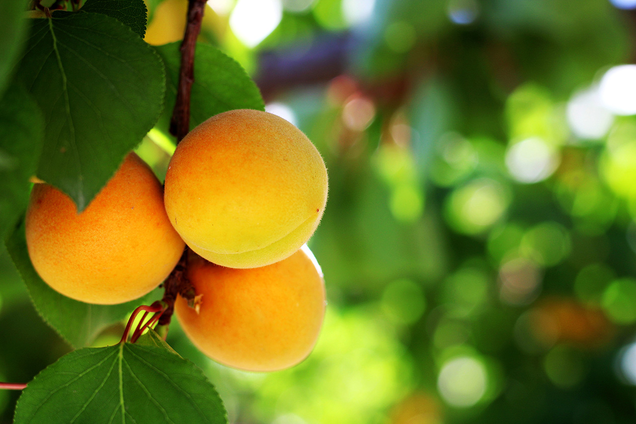 abricots fruit nutrition santé