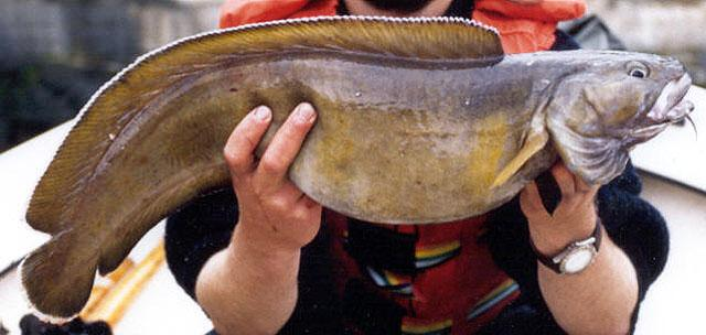 Brosme-poisson