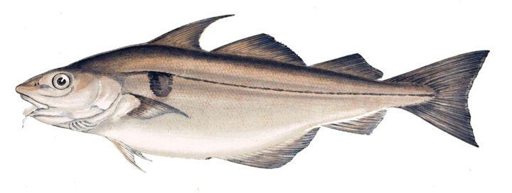 L'aiglefin, un poisson doté d'un pouvoir de satiété et d'antioxydant