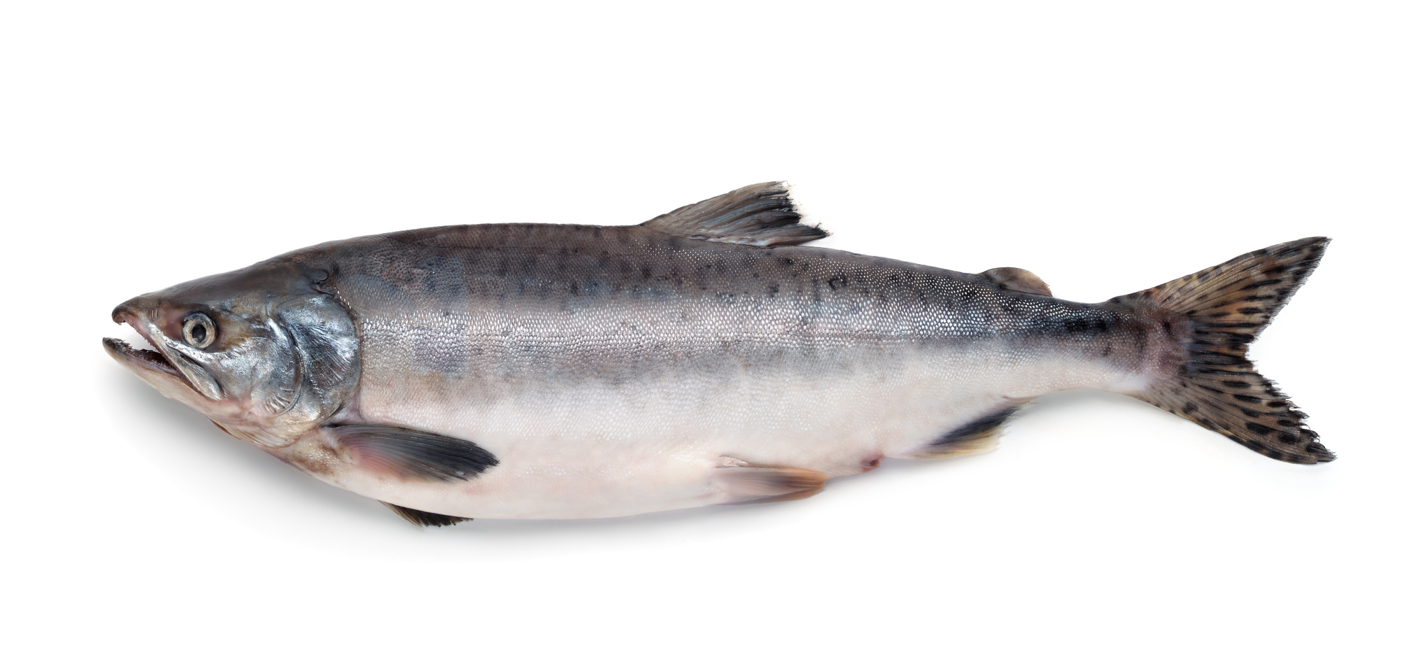 saumon poisson nutrition recette santé
