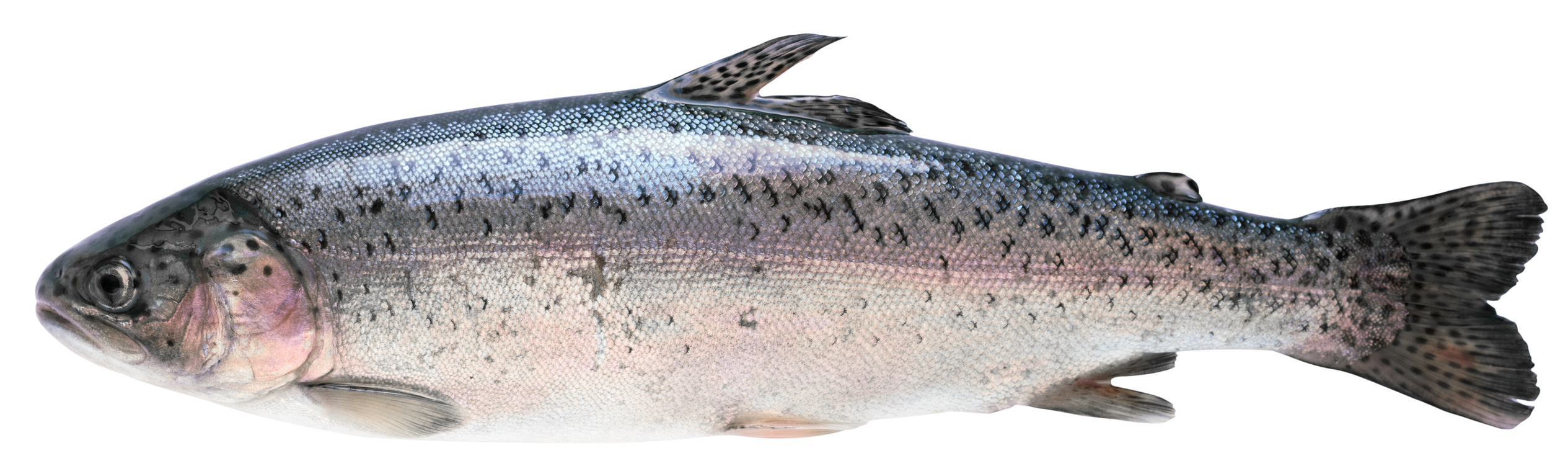 truite poisson nutrition recette santé