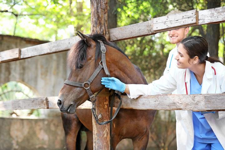 Botulisme et coliques néphrétiques, la maladie qui touche les chevaux