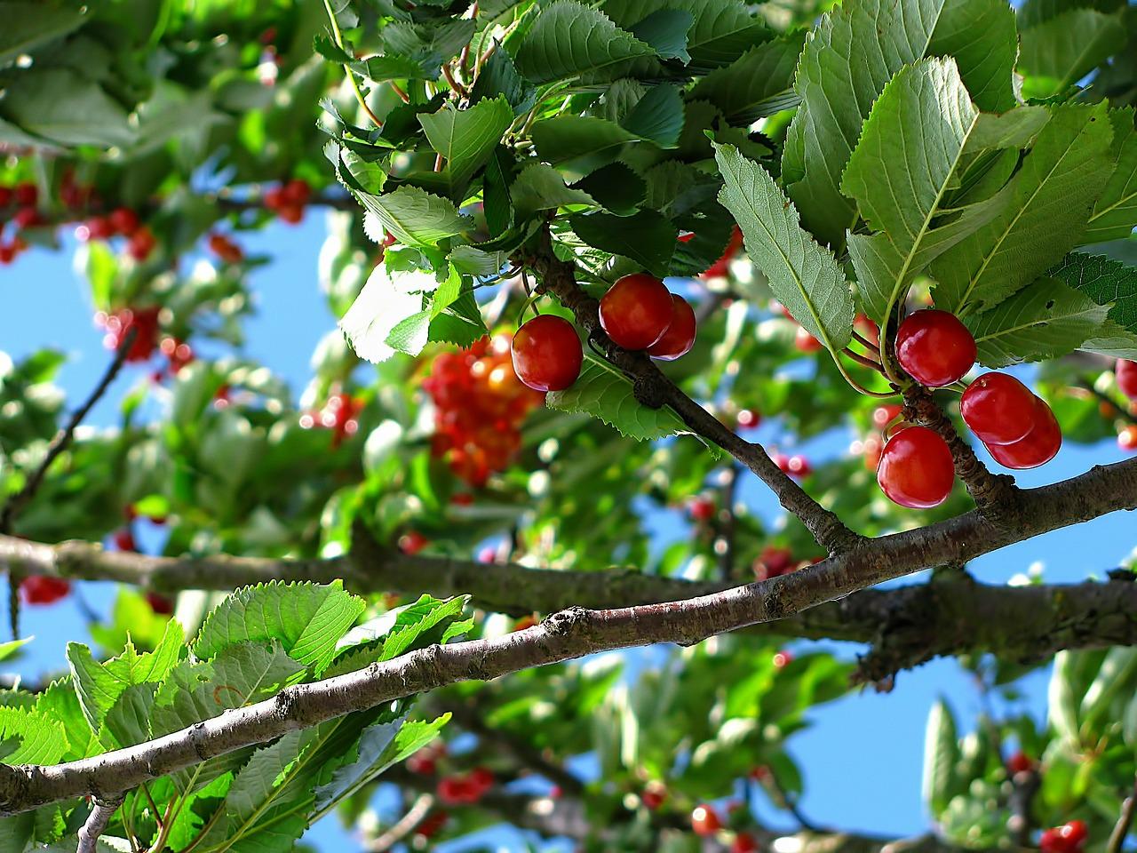 cerise fruit